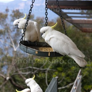 cockatoos